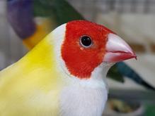 فنچ گلدین زیبا ترین پرنده در شیپور