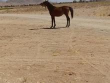اسب نریون سن سه به چهار در شیپور