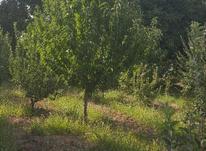 باغ انگور با میوه در شیپور-عکس کوچک