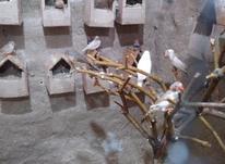 فروش فوری پنج عدد فنج بالغ در شیپور-عکس کوچک