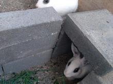 خرگوش ..... در شیپور