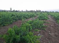 باغ انگور بالای اتوبان 1400 متر در شیپور-عکس کوچک
