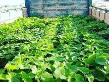 تولید نهال پالونیا هیبرید اصلاح شده طب جو مشاوره خرید محصول در شیپور