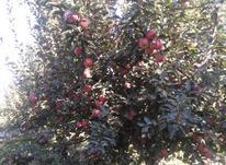 سیب سفید و قرمز شارویران در شیپور-عکس کوچک