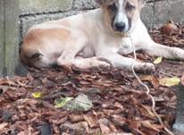 سگ نگهبان ادم گیر در شیپور-عکس کوچک