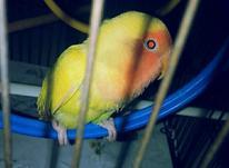 طوطی برزیلی شاه تخم ... چشم شرابی اصیل در شیپور-عکس کوچک