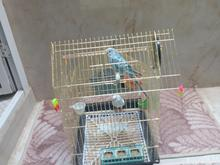 مرغ عشق باقفس در شیپور