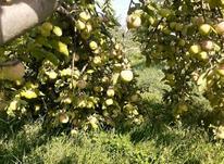 باغ سیب در قزوین در شیپور-عکس کوچک