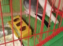 فروش فنچ نرگسی در شیپور-عکس کوچک