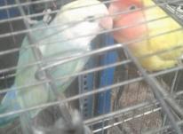 طوطی برزیلی نرماده سرحال بازیگوش در شیپور-عکس کوچک