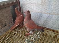 کبوتر راعبی کربلایی اصل در شیپور-عکس کوچک