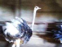 فروش شتر مرغ 8ماهه در شیپور