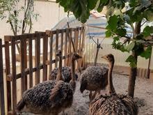 جوجه شتر مرغ در شیپور
