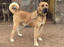 سگ نگهبان سرابی در شیپور-عکس کوچک
