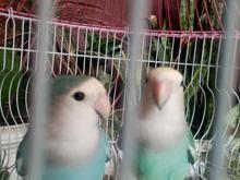 دوتا طوطی برزیلی با هم گمشده در شیپور