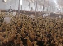 فروش ویژه جوجه اردک ورامینی اصیل درجه1 (پا کلفت) در شیپور-عکس کوچک