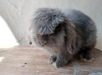 خرگوش لپ نر بلو چشم آبی در شیپور-عکس کوچک