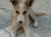 سگ هاسکی معاوضه با کفتر سه ماه باهوش در شیپور-عکس کوچک