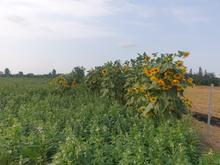 زمین با مجوز گلخانه در شیپور