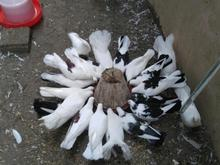 تعدادی کبوتر فروشی در شیپور