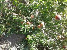 ملک کشاورزی داخل شهر تنکمان در شیپور