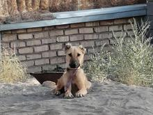 سگ سرابی اصیل در شیپور