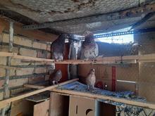 کبوتر پرش سنگین تیر ماهی به شرط در شیپور