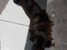 سگ ماده سیاه گمشده در شیپور