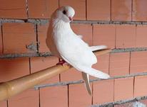 کبوتر قنار فروش فوری با معاوضه فقط با لاری در شیپور-عکس کوچک