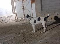 سگ گله بشرط در شیپور-عکس کوچک