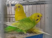 مرغ عشق نروماده رنگ خاص بالغ در شیپور-عکس کوچک