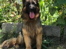 سگ ژرمن شپرد فروش سگ باهوش ژرمن در شیپور