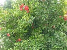 باغ هلو وانارهمراه پروانه دامداری صنعتی وچاه آب در شیپور