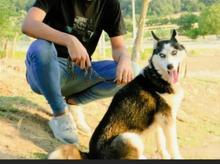 سگ هاسکی ماده در شیپور