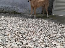 فروش سگ خراسانی در شیپور