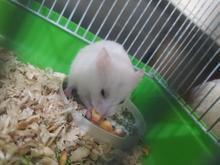 همستر نر خونگی در شیپور