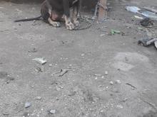 سگشکاری..... در شیپور