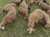 فروش گوسفند مغان در شیپور-عکس کوچک