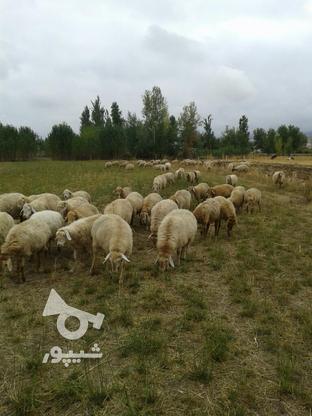 صد رای گوسفند ماده توقلو همش ابستن در گروه خرید و فروش ورزش فرهنگ فراغت در اردبیل در شیپور-عکس1