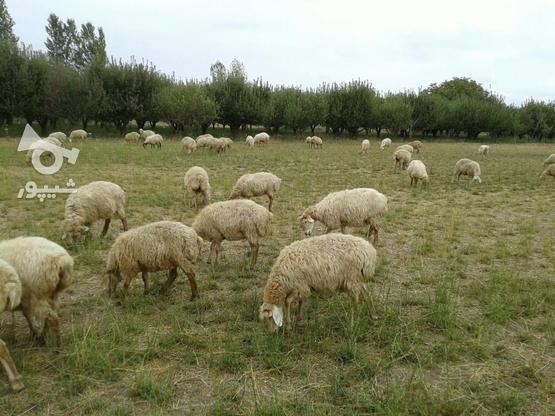 صد رای گوسفند ماده توقلو همش ابستن در گروه خرید و فروش ورزش فرهنگ فراغت در اردبیل در شیپور-عکس3