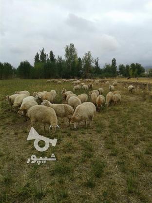 صد رای گوسفند ماده توقلو همش ابستن در گروه خرید و فروش ورزش فرهنگ فراغت در اردبیل در شیپور-عکس2