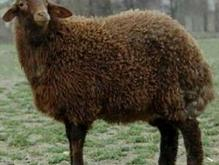 ذبح گوسفند در شیپور