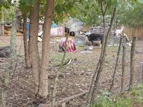 فروش زمین باغی 1000 متر در آستانه اشرفیه در شیپور