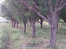 باغ زردآلو و انگور روستای اسکان در شیپور