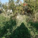 حدود یک هکتار باغ پسته وانار و...
