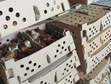جوجه رسمی گلپایگانی محلی بلک مرندی گوشتی راس اردک در شیپور