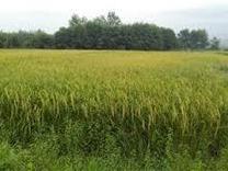 زمین کشاورزی متراژ بالا در شیپور