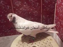 کبوتر گمشده در شیپور