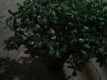 گل قشنگ بسیار زیبا در شیپور