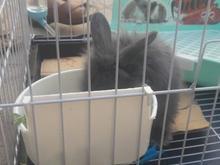 خرگوش لوپ سالم با قفس و تمام لوازم تمیز در شیپور